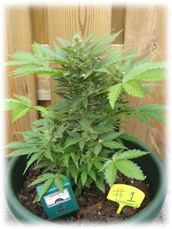 Blog - Buying Cannabis Seeds | Dutch Headshop