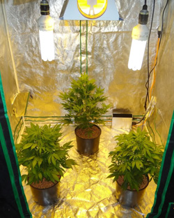 Indoor Growing Tent Marijuana Seeds & Blog - Top 5 marijuana seeds indoors | Dutch Headshop