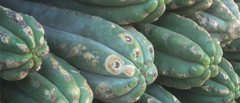 Mescaline Cacti - How do you use Peyote and San Pedro?