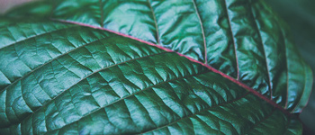 What is Kratom and what are its Effects?