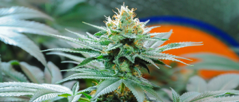 Amnesia Weed: All Strains & Information