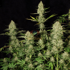 Delahaze (Paradise Seeds) 3 seeds