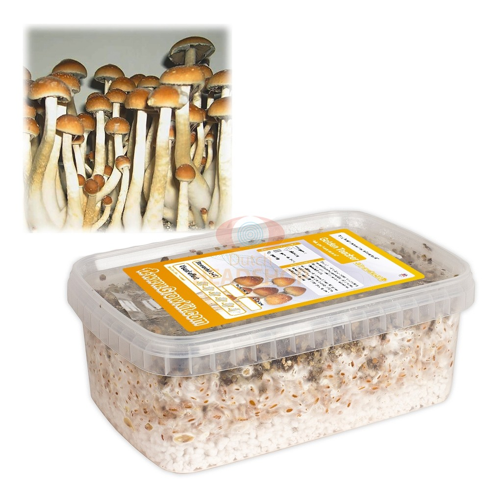 Magic Mushroom Growkit Golden Teacher (Ready-to-Grow Growkit)