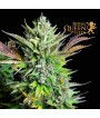 Green Gelato Automatic (Royal Queen Seeds) 3 seeds