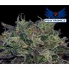 Black Widow (Positronics) 5 seeds