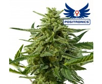Northern Haze Express Autoflower (Positronics) 5 seeds