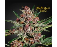 Bubba Kush (Greenhouse Seeds) 3 seeds