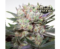 Californian Gold (Paradise Seeds) 3 seeds