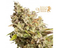 Royal Gorilla (Royal Queen Seeds) 3 seeds