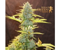 Fat Banana Automatic (Royal Queen Seeds) 3 seeds