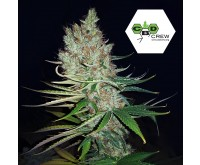 CBD Therapy (CBD Crew) 5 seeds