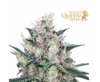 Honey Cream Fast Flowering (Royal Queen Seeds) 3 seeds