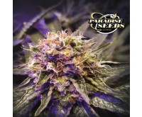 Blue Kush Berry (Paradise Seeds) 3 seeds