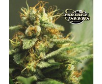 L.A. Amnesia (Paradise Seeds) 3 seeds