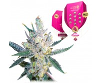 Royal Cheese Fast Flowering (Royal Queen Seeds) 5 seeds