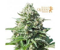 Royal Gorilla Automatic (Royal Queen Seeds) 3 seeds