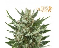 Speedy Chile Fast Flowering (Royal Queen Seeds) 3 seeds