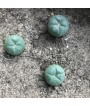 Peyote Mescaline Cactus [Lophophora Williamsii] (Mystic Grow) 10 seeds