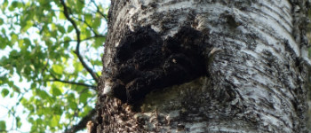 Chaga Mushrooms: Diamonds of the Forest