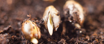 Help! My Weed Seeds Are Not Germinating