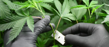 Taking Weed Cuttings in a Few Simple Steps
