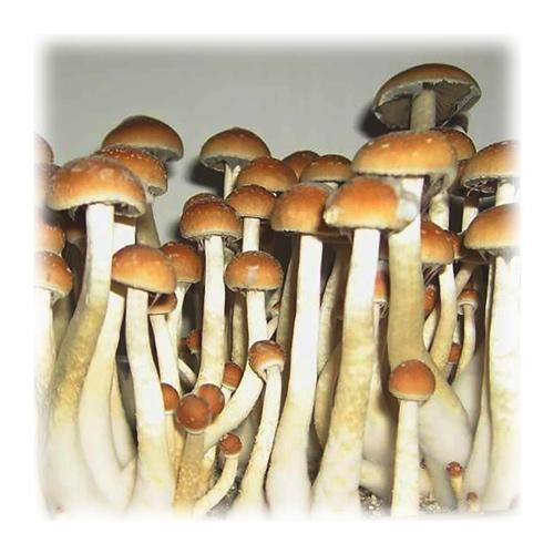 Blog - Magic Mushroom Grow-Kit: Cultivate Your Own Shrooms